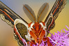 #234 Male Cecropia Moth Close-up
