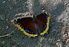 """Tortoisshells, one of the four species-- """"Mourning Cloak<br /> '"""