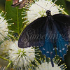 Pipevine Swallowtail (Butterfly)