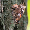 Red Admiral (Butterfly)