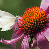 Cabbage White (Butterfly)