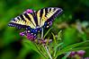 7-14-14 Eastern Tiger Swallowtail