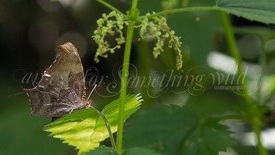 Florida Leafwing (Butterfly)