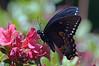 Black Swollowtail # 3