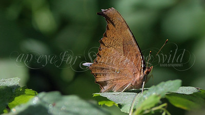 Goatweed Leafwing (Butterfly)