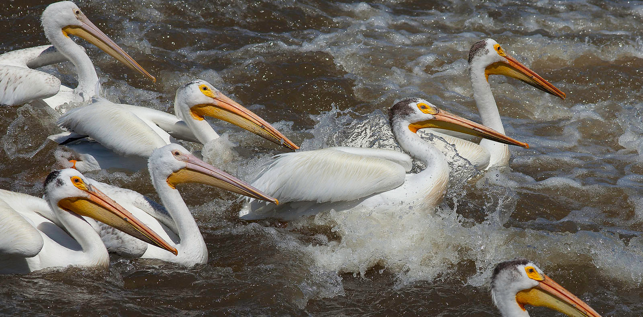 Pelicans splashing in the Mississippi