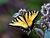 Eastern Tiger Shallowtail