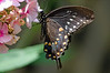 Black Swollowtail # 2