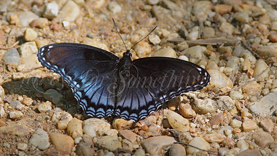 Red-spotted Purple (Butterfly)