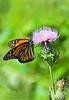 Monarch on Thisel 2