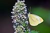 A Dainty Sulfer on Milkweed # 1