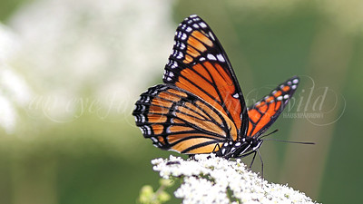 Viceroy (Butterfly)
