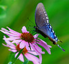 SPICEBUSH BUTTERFLY ON CONE FLOWER