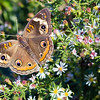 Common Buckeye (Butterfly)