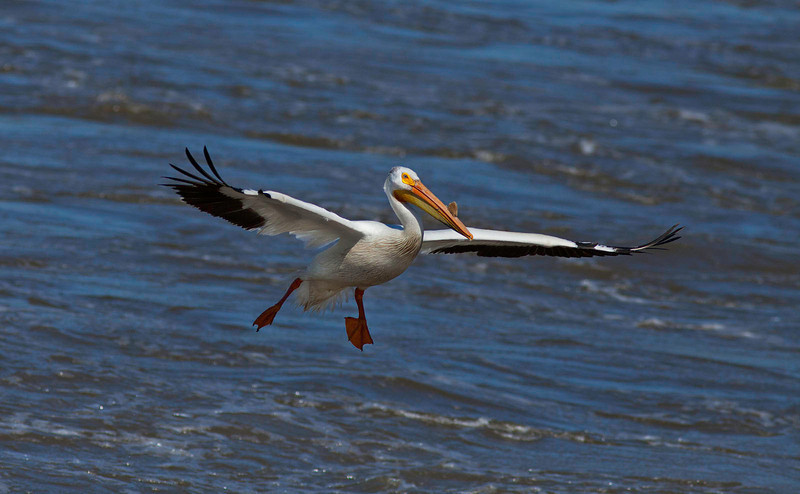 Flying pelican at the Mississippi river