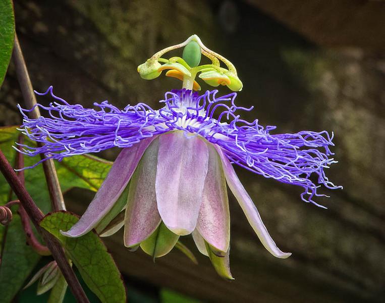 Passiflora Inspiration