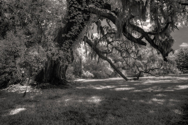Tree, Brazos Bend State Park, Texas