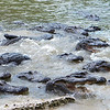 Everglades Alligator Farm -114