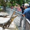 Everglades Alligator Farm -116