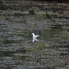 Black headed Gull + Moorhen