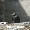 Sick Jackdaw Chick 2