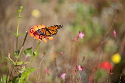 Monarch-002