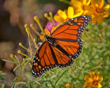 Monarch-022