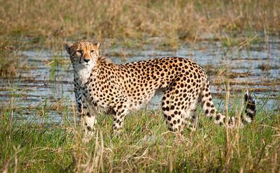 Cheetah Botswana Ann Gridley