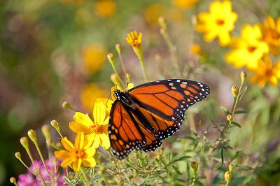 Monarch-016