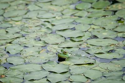 frog-1847