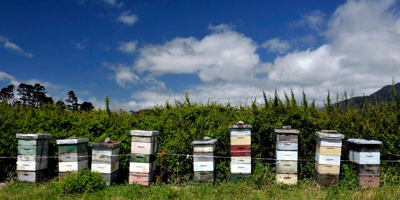 <h4>Queen Bees</h4>Kairuru, New Zealand