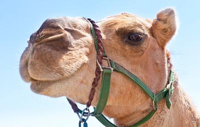 2013 Virginia City Camel Races 11
