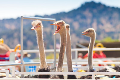 2013 Virginia City Camel Races 04