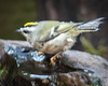 BLURRY IMAGE?  NOPE, THE KINGLET IS SHIVERING AFTER DIPPING THAT TOE IN THE COLD WATER . . .