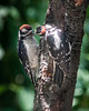A DOWNY WOODPECKER RECEIVES A BIT OF SUET FROM HIS PARENT