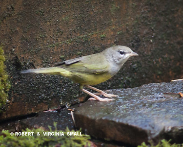 A RARE EVENT, A MACGILLVRAY'S WARBLER DROPPED IN FOR WATER AND A QUICK BATH