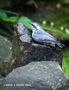 ANOTHER SUMMER FLEDGLING, THIS TIME A RED-BREASTED NUTHATCH, ENJOYING A BATH AND A DRINK ON ONE OF WATER BUBBLERS BY OUR POND