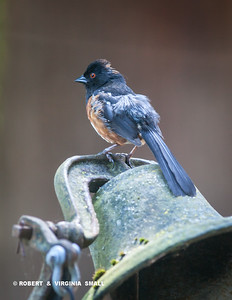 SPOTTED TOWHEE PERCHED ON OUR DOORBELL, AN OLD SCHOOL BELL
