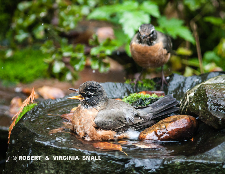 SOUTHBOUND ROBINS STOPPED FOR A BATH AND BERRY BREAK IN THEIR TRAVELS
