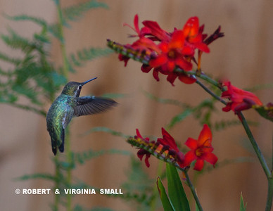 WE ARE ENJOYING THIS AS MUCH AS THE ANNA'S HUMMINGBIRD!