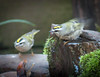 ONE KINGLET SHAKES OFF BATH WATER AS ANOTHER WAITS ITS TURN