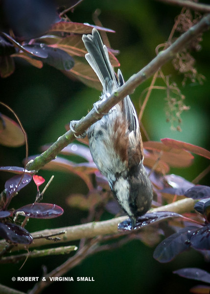 THIRSTY CHICKADEE SIPPING RAINDROPS IN LEAF BELOW