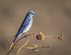 "THE MOUNTAIN BLUEBIRD, STATELY AND ELEGANT AND ROBED IN ITS ""ROYAL BLUE"" COLORATION"