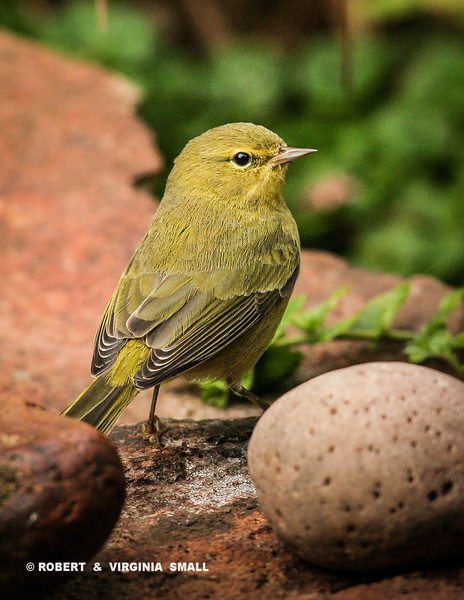 LOOKS LIKE AN ORANGE-CROWNED WARBLER - WHAT DO YOU THINK?
