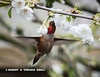 ONE OF THE RUFOUS HUMMINGBIRDS FORAGING AMONG THE CHERRY BLOSSOMS