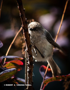 CHEEKY LITTLE BUSHTIT