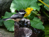 BUDDIES MEETING FOR A LITTLE DRINK - A BLACK-CAPPED CHICKADEE AND A WILSON'S WARBLER ON THE BUBBLER BY OUR POND