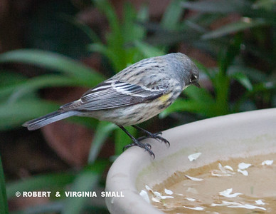 THE FEMALE HALF OF A PAIR OF YELOW-RUMPED WARBLERS THAT VISITED OUR GARDEN THE OTHER MORNING