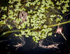 WHO WOULDN'T ENJOY A COOLING  PLUNGE IN THE MIDST OF ALL THE LUSH GREENERY IN OUR NATURALIZED POND - SURELY NOT THIS BIG RED-LEGGED FROG AFTER A DAY IN THE WARM SUN . . .