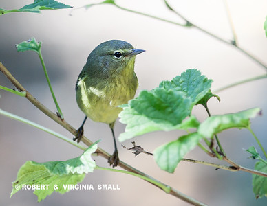 JUST LIKE THIS LITTLE  (ALMOST TWO-DIMENSIONAL) WARBLER PIC . . .